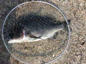 チヌ(黒鯛)落とし込み画像